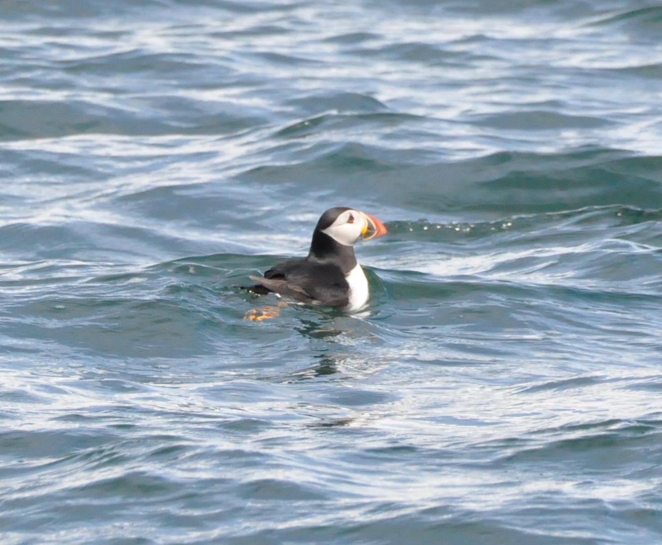 A puffin on the water at Worms Head
