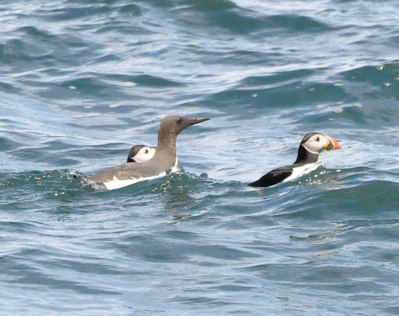 Puffins and guillemot on the sea