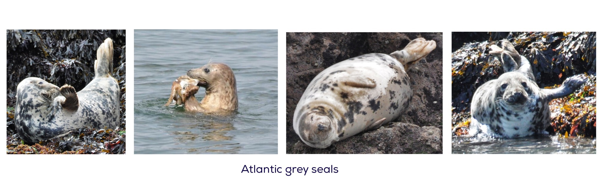 Atlantic grey seals at Worms Head, Gower, Wales