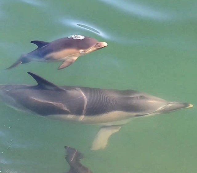baby common dolphin calf with mother Gower Wales boat trip