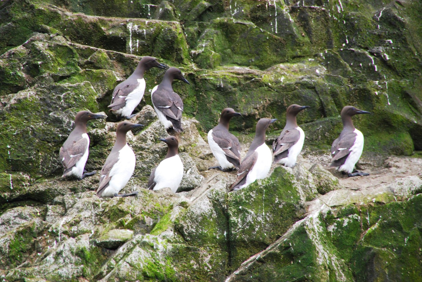 guillemots on the cliffs at Worms Head