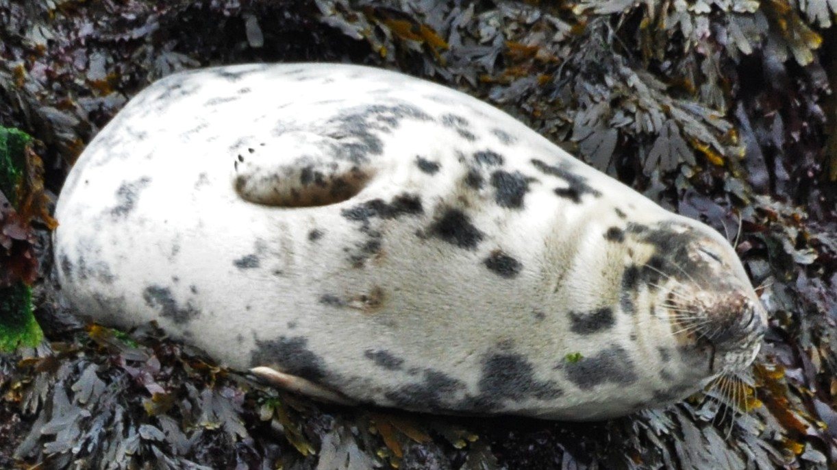 seal pup where heart pregnant travel
