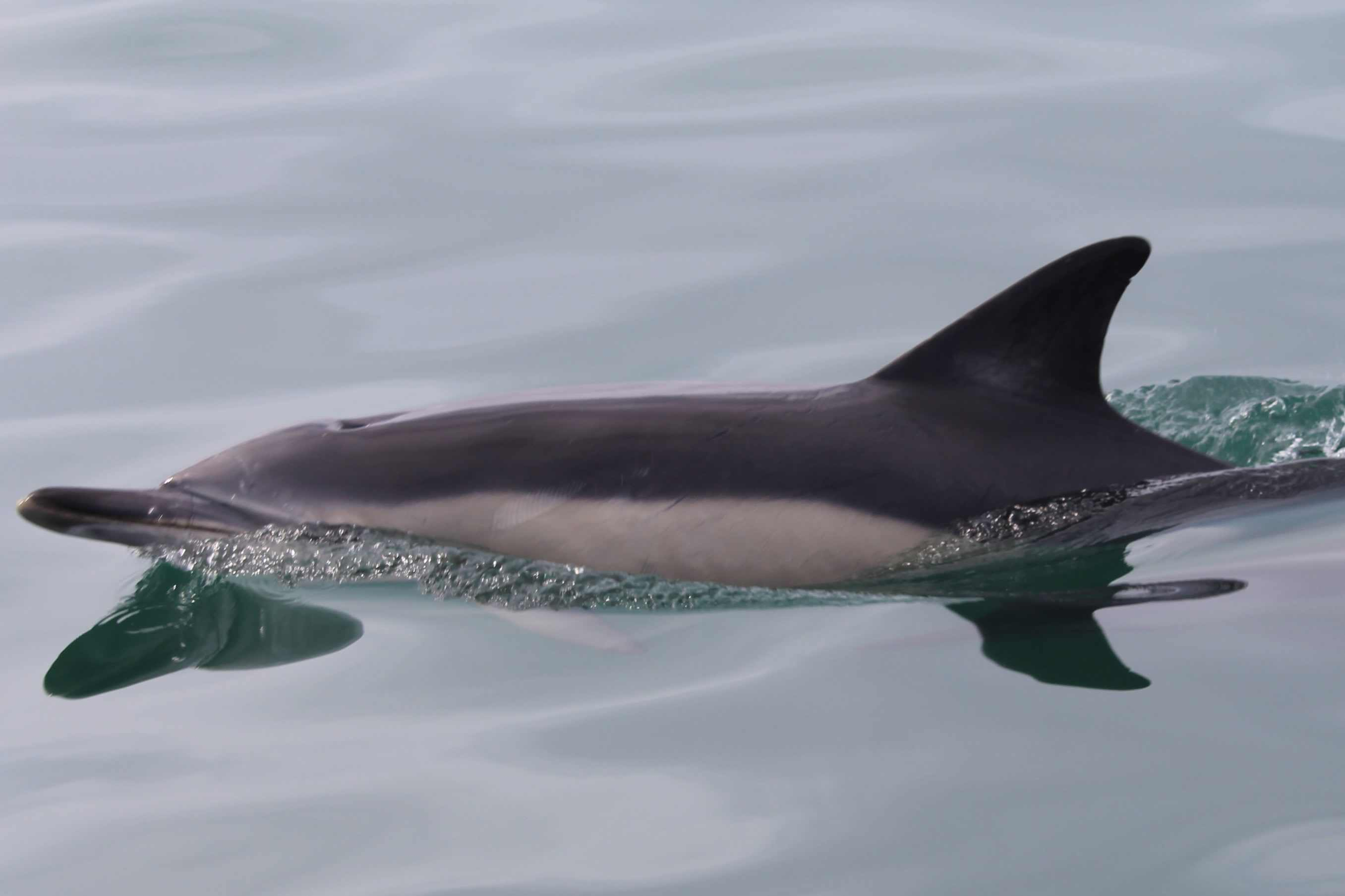 common dolphin gower