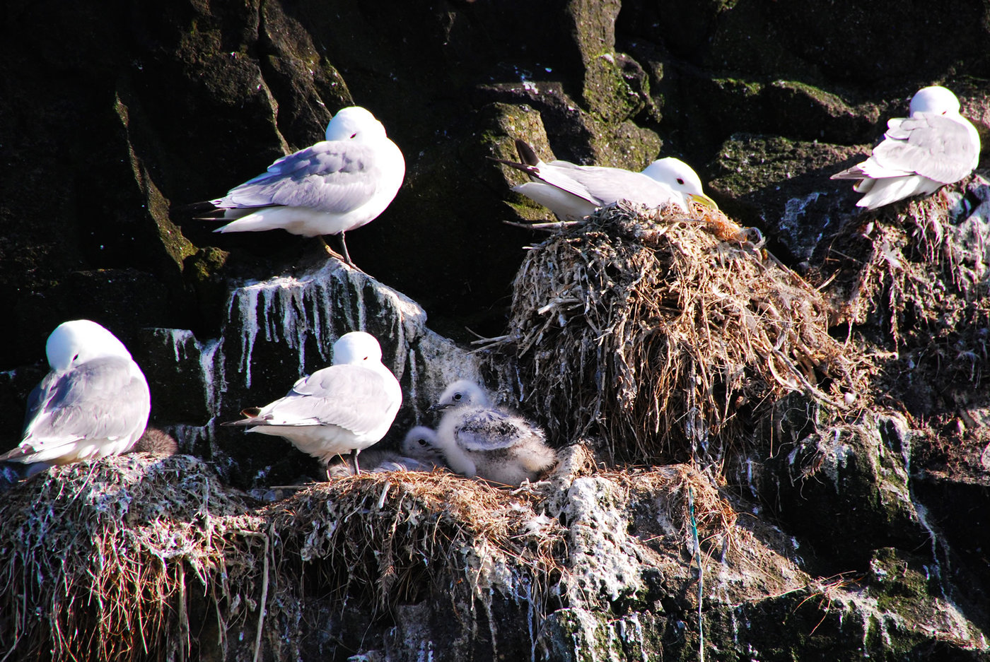 Kittiwakes nesting at Worms Head