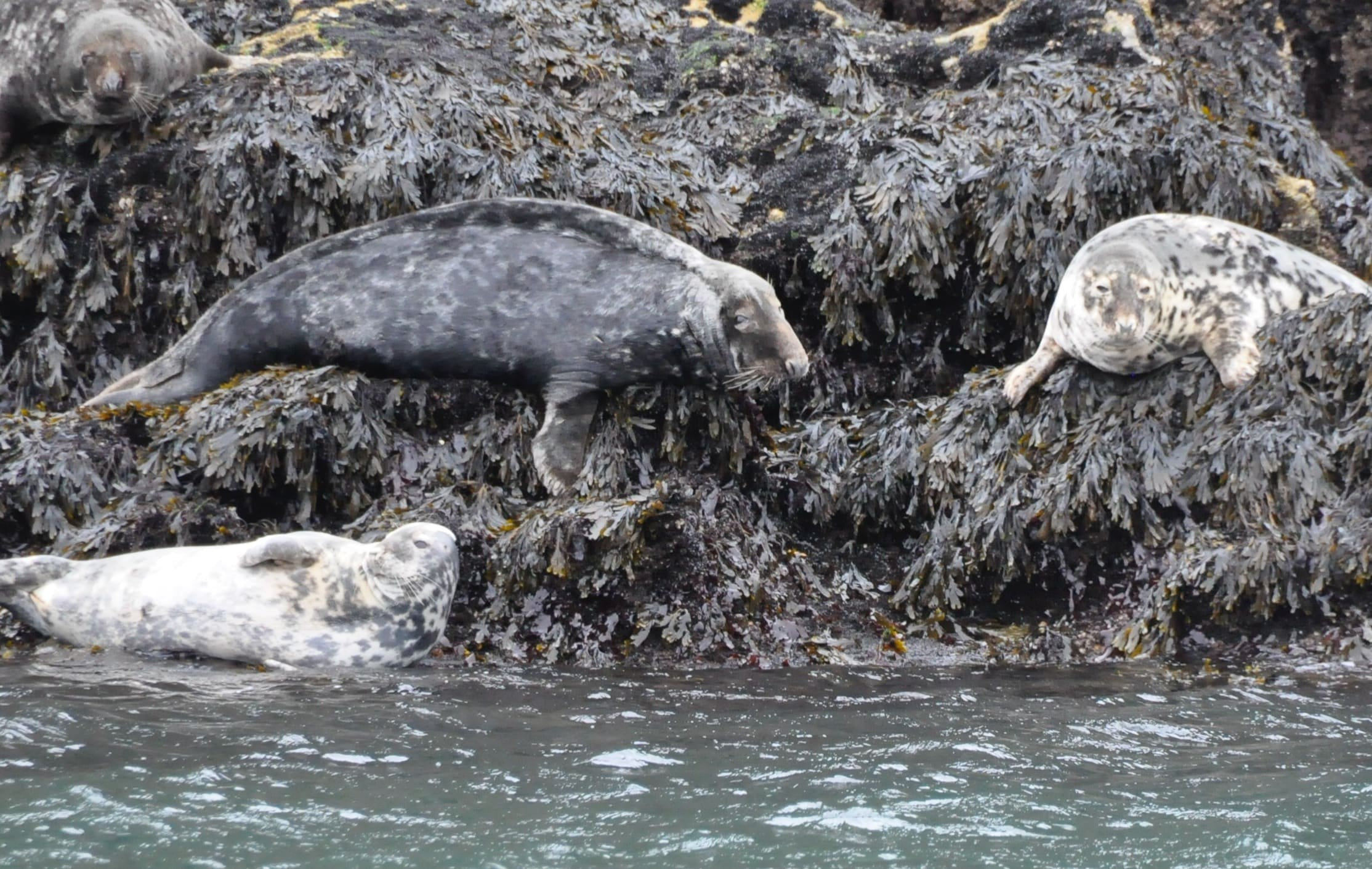 grey seals worms head gower male and female