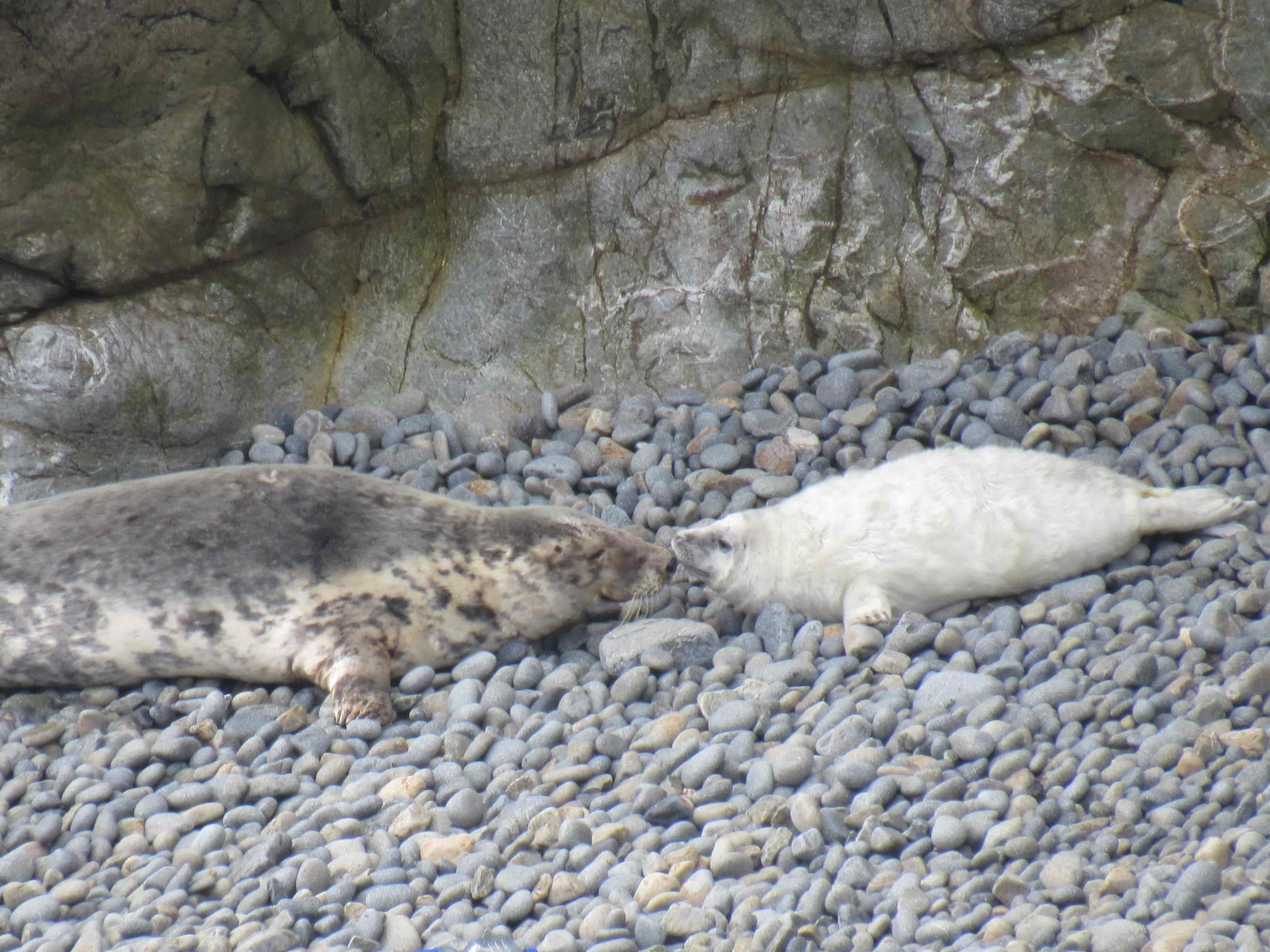 mother seal pup smell
