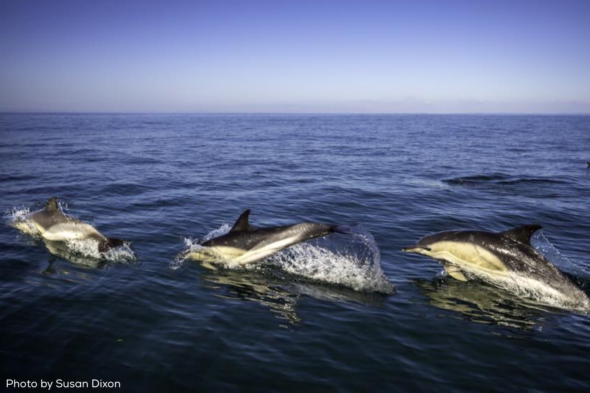 dolphins gower