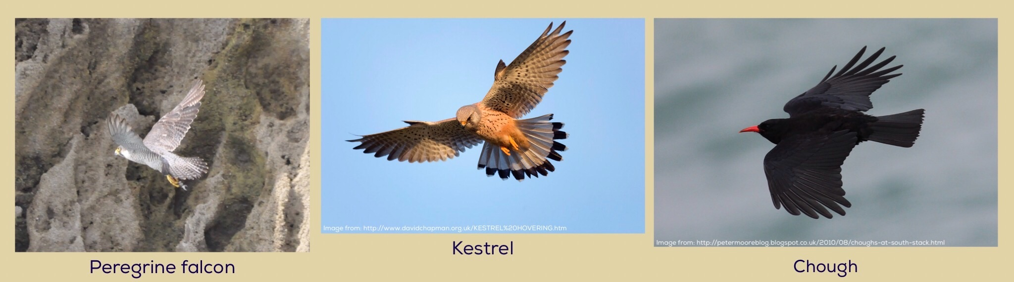 peregrine falcon kestrel chough