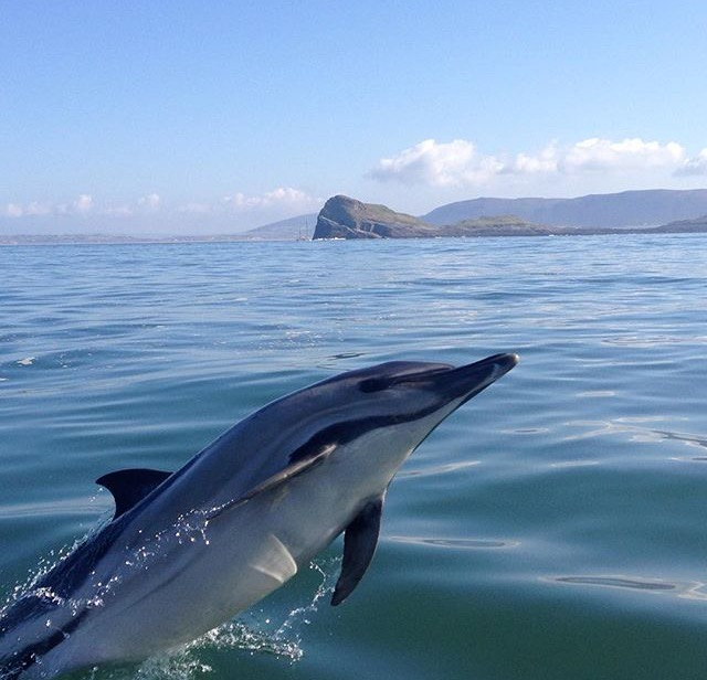 common dolphin gower worms head