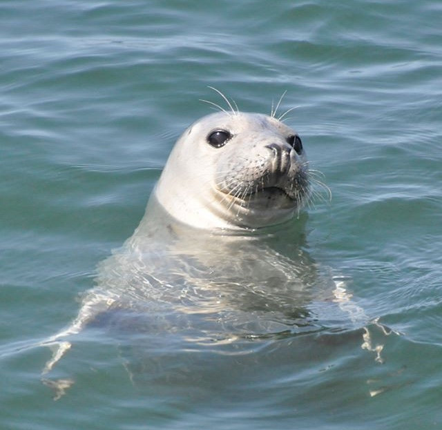 A seal in the water at Worms Head