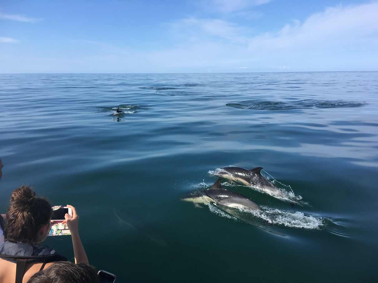 common dolphins gower coast adventures