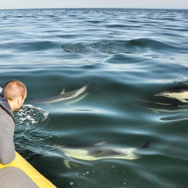 common dolphins gower