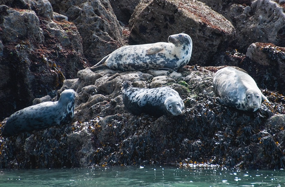 grey seals worms head gower