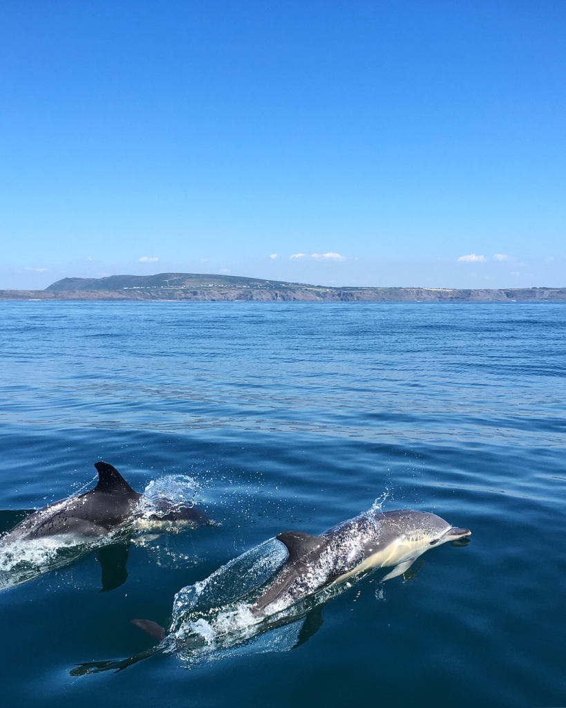 common dolphins Gower peninsula