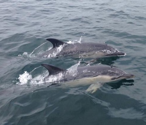 two common dolphins gower wales