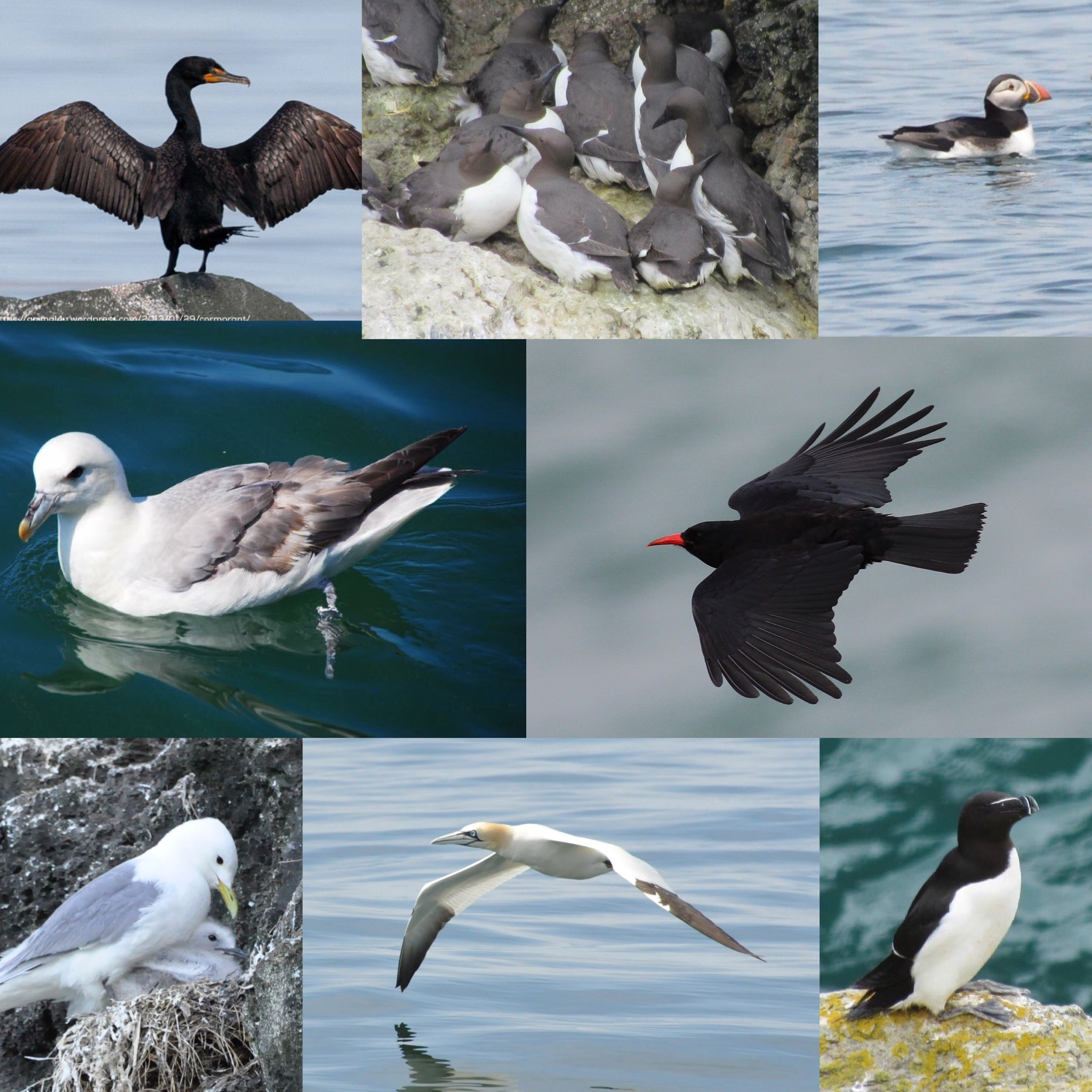 sea birds of Gower